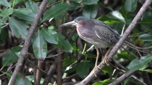 Green Heron (Butorides virescens) (11)