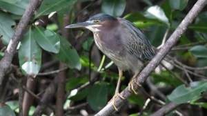 Green Heron (Butorides virescens) (13)