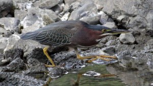 Green Heron (Butorides virescens) (4)