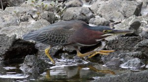 Green Heron (Butorides virescens) (5)
