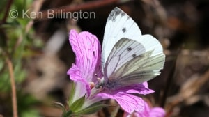 Green-veined-White-(1).JPG