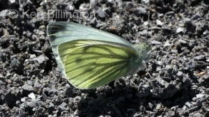 Green-veined-White-(2).JPG