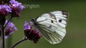 Green-veined-White-(5).JPG