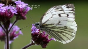 Green-veined-White-(6).JPG