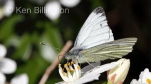 Green-veined White (Pieris napi) (07).jpg