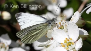 Green-veined White (Pieris napi) (8).jpg