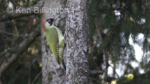 Green Woodpecker Picus viridis