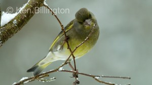 Greenfinch (Carduelis chloris) (10)