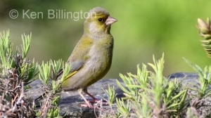 Greenfinch (Carduelis chloris) (11)