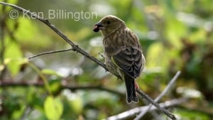 Greenfinch (Carduelis chloris) (2)