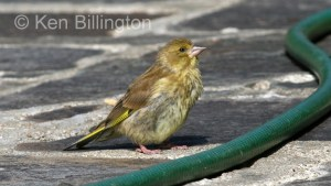 Greenfinch (Carduelis chloris) (3)