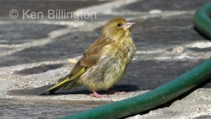 Greenfinch (Carduelis chloris) (4)