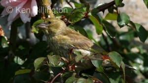 Greenfinch (Carduelis chloris) (6)