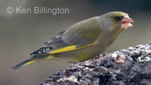 Greenfinch (Carduelis chloris) (7)