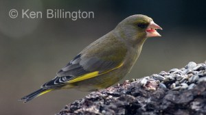 Greenfinch (Carduelis chloris) (8)
