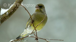 Greenfinch (Carduelis chloris) (9)