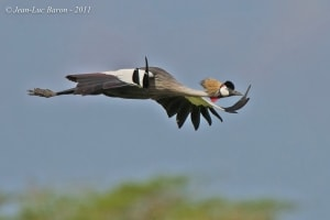 Grey Crowned-crane Balearica regulorum