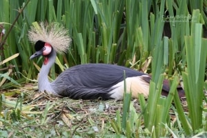 Grey Crowned-crane Balearica regulorum