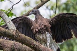 Grey-headed Fish-eagle Icthyophaga ichthyaetus