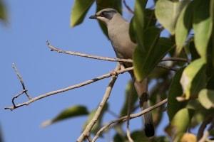 Grey Hypocolius (Hypocolius ampelinus)