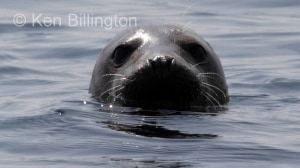 Grey Seal (Halichoerus grypus) (10)