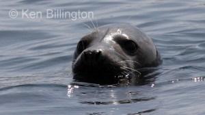 Grey Seal (Halichoerus grypus) (4)
