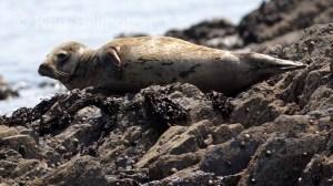 Grey Seal (Halichoerus grypus) (5)