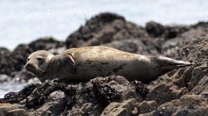 Grey Seal (Halichoerus grypus) (6)