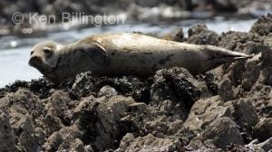Grey Seal (Halichoerus grypus) (7)