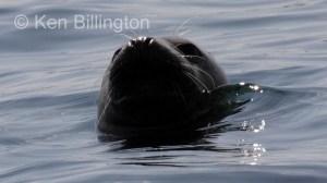 Grey Seal (Halichoerus grypus) (8)