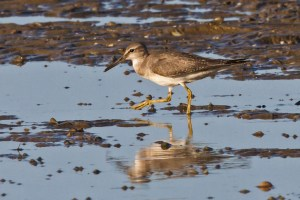 Grey-tailed Tattler Tringa brevipes