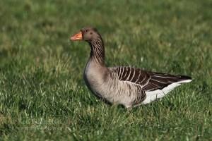 Greylag Goose Anser Anser (16)