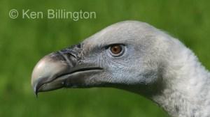 Griffon Vulture (Gyps fulvus) (10)