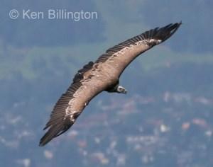 Griffon Vulture (Gyps fulvus) (13)
