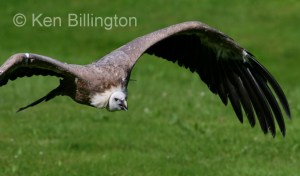 Griffon Vulture (Gyps fulvus) (14)