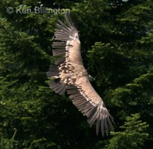 Griffon Vulture (Gyps fulvus) (15)
