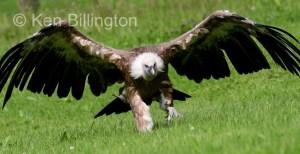 Griffon Vulture (Gyps fulvus) (17)