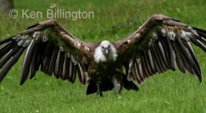 Griffon Vulture (Gyps fulvus) (18)