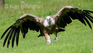 Griffon Vulture (Gyps fulvus) (19)