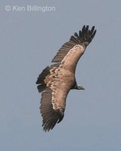 Griffon Vulture (Gyps fulvus) (3)