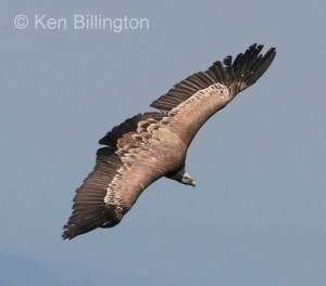 Griffon Vulture (Gyps fulvus) (4)