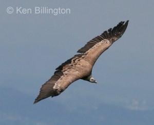 Griffon Vulture (Gyps fulvus) (5)