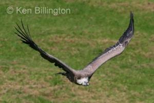 Griffon Vulture (Gyps fulvus) (6)