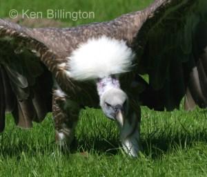 Griffon Vulture (Gyps fulvus) (7)