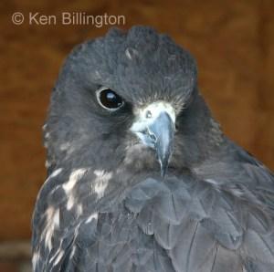 Gyrfalcon (Falco rusticolus) (01)