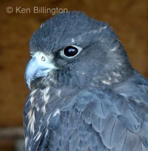 Gyr Falcon Falco rusticolus