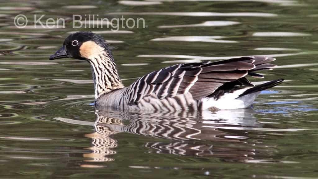 Hawaiian Goose (Branta sandvicensis). Bird showing ... |Hawaiian Goose Branta Sandvicensis
