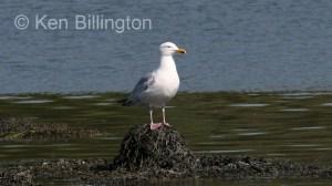 Herring Gull (Larus argentatus) (10)