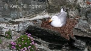 Herring Gull (Larus argentatus) (13)