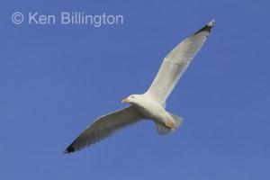 Herring Gull (Larus argentatus) (14)